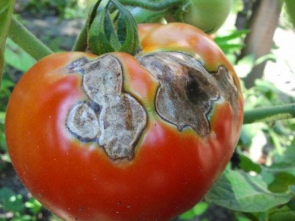 Чёрная гниль на томатах