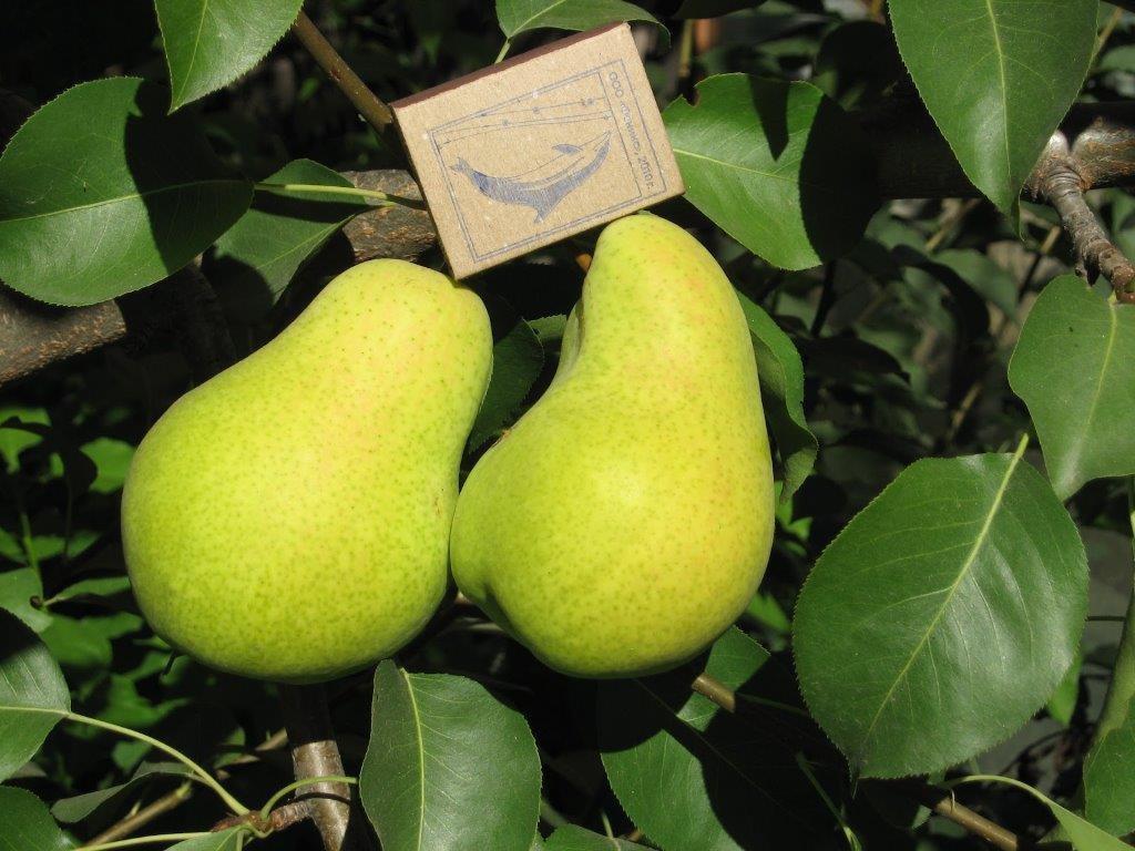 Груша Чижовская: рекомендации по посадке и выращиванию, советы по уходу от агрономов