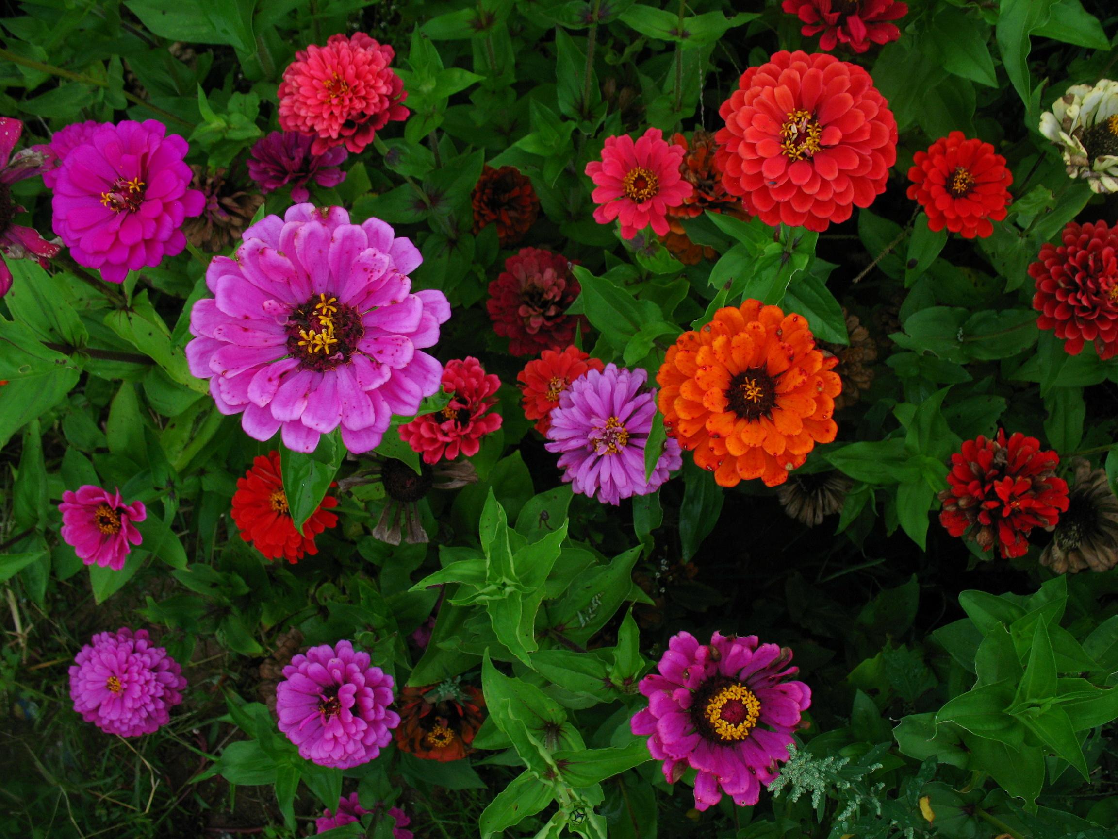 Выращивание циний: сорта и фото цветов