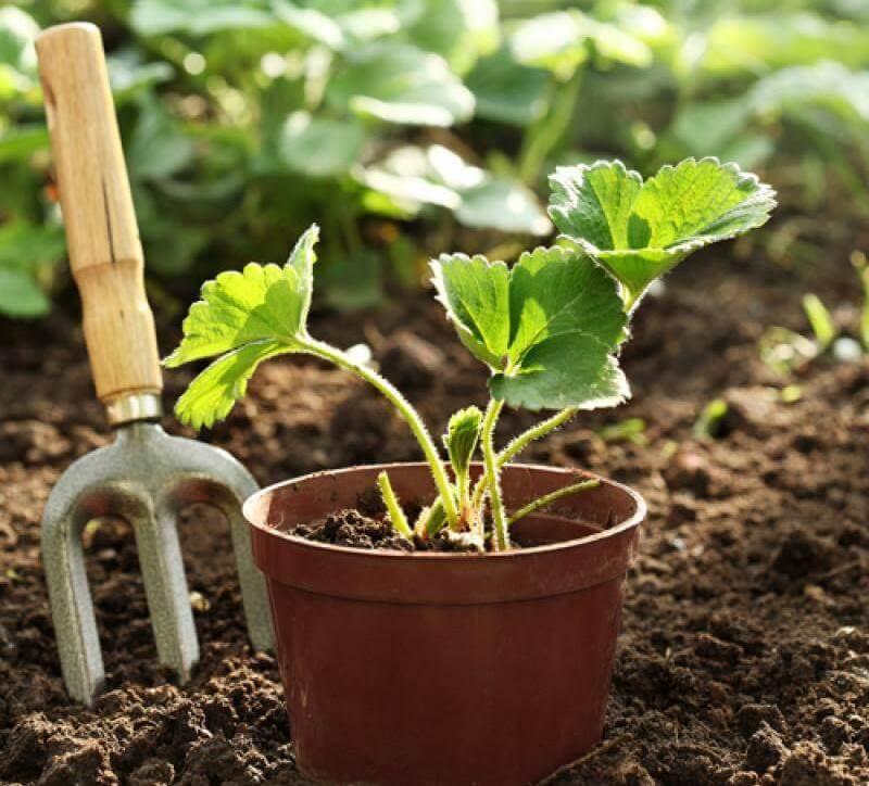 Посев земляники на рассаду семенами, подготовка и способы посева