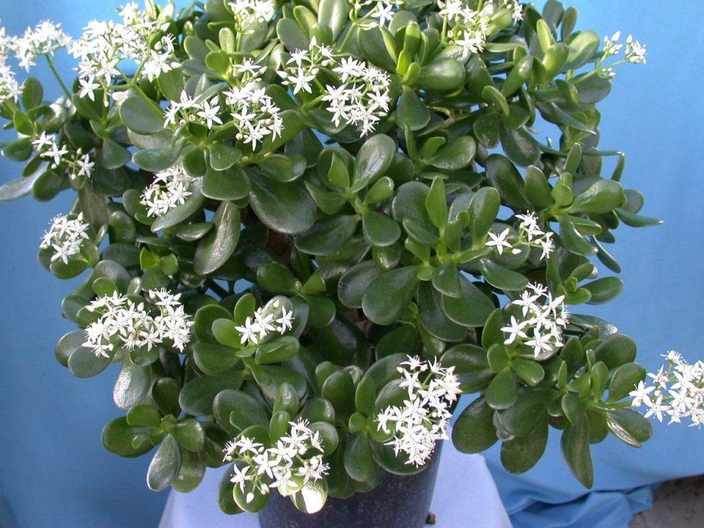 Денежное дерево: фото, цветение и уход в домашних условиях