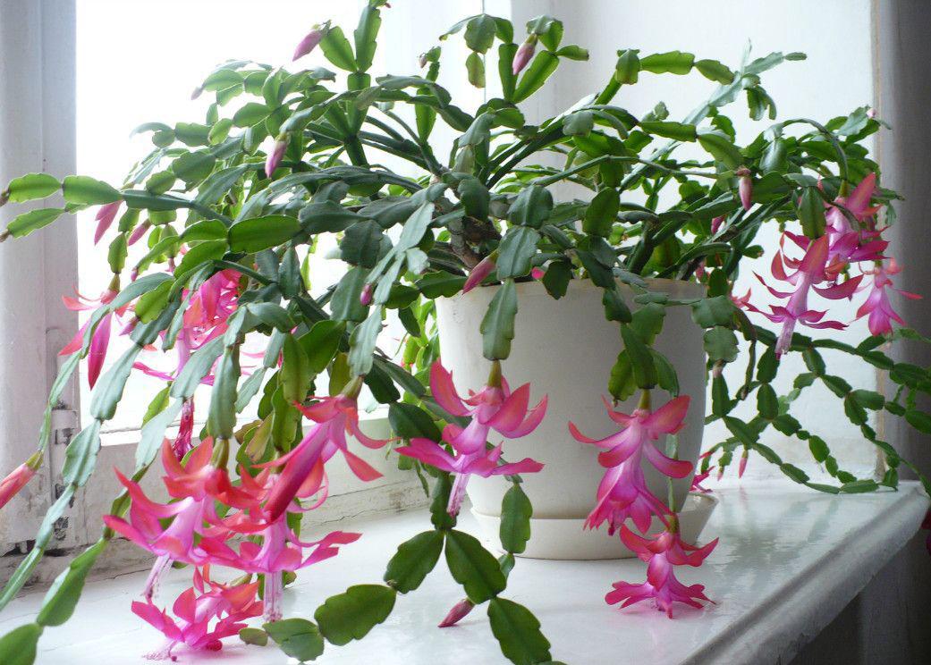 Цветок декабрист: размножение, разновидности с фото и особенности ухода