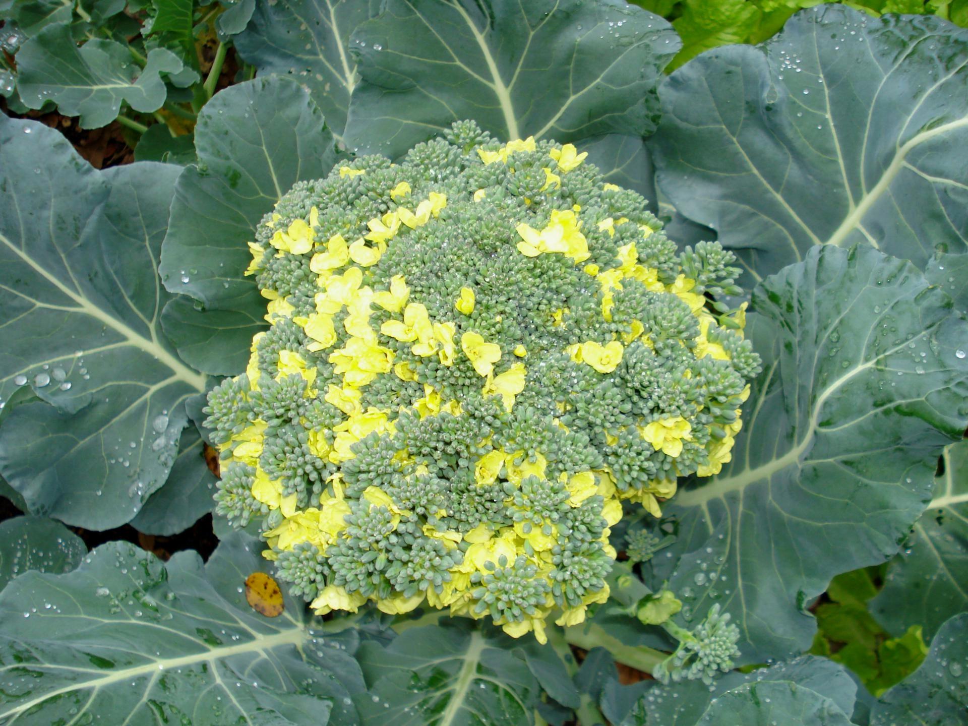 Выращивание рассады капусты брокколи: как избежать типичных проблем