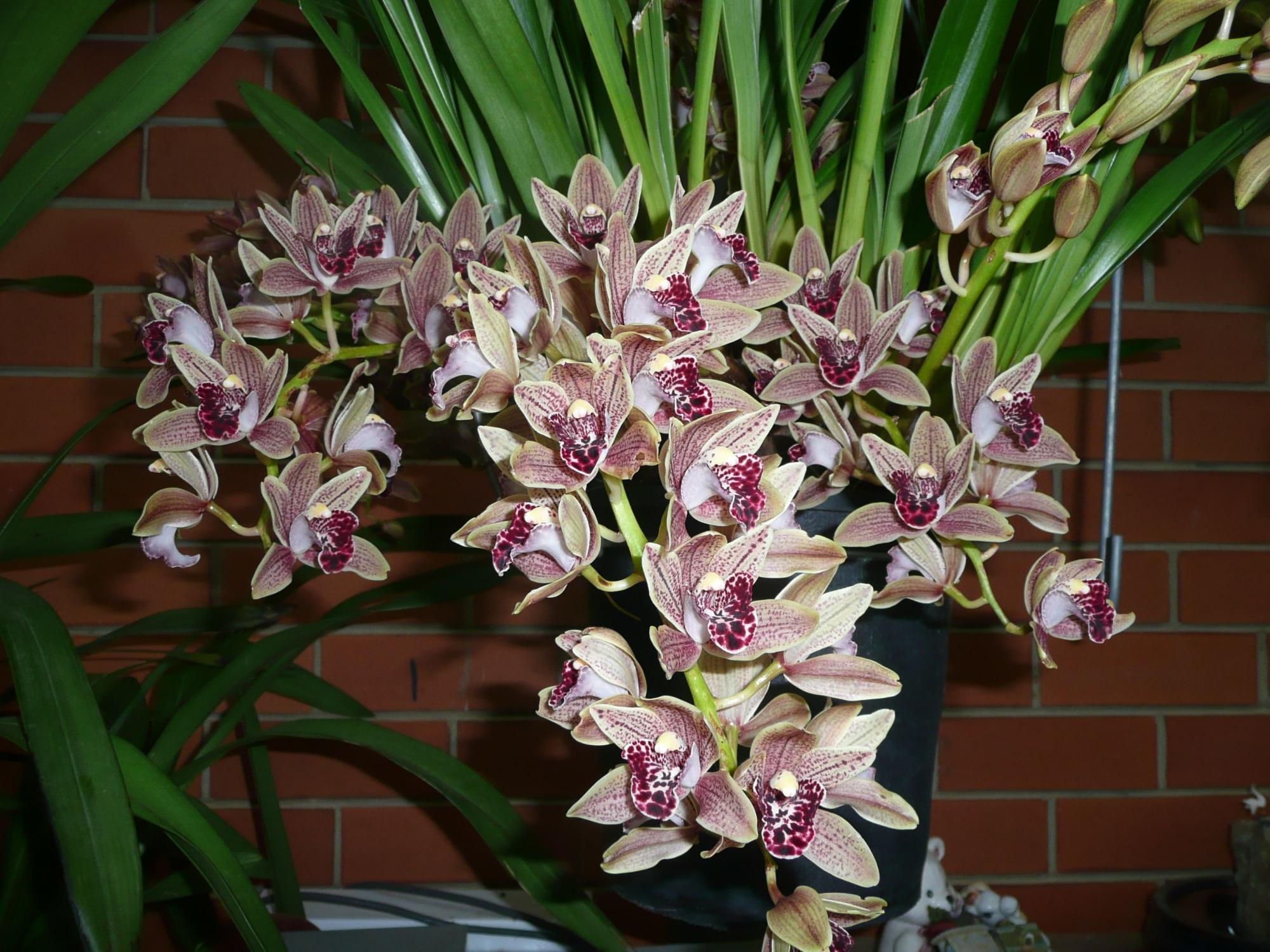 Цимбидиум: не менее эффектен, чем привычные орхидеи