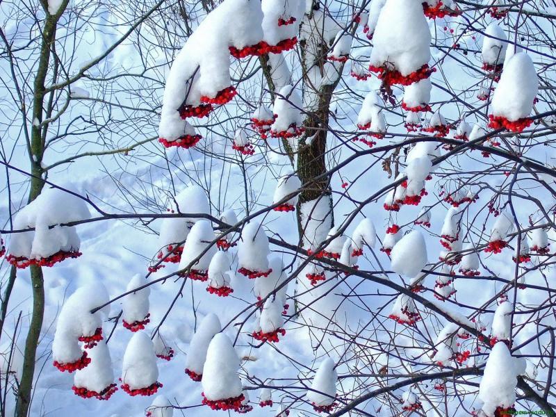 Декабрь в саду, рябина под снегом