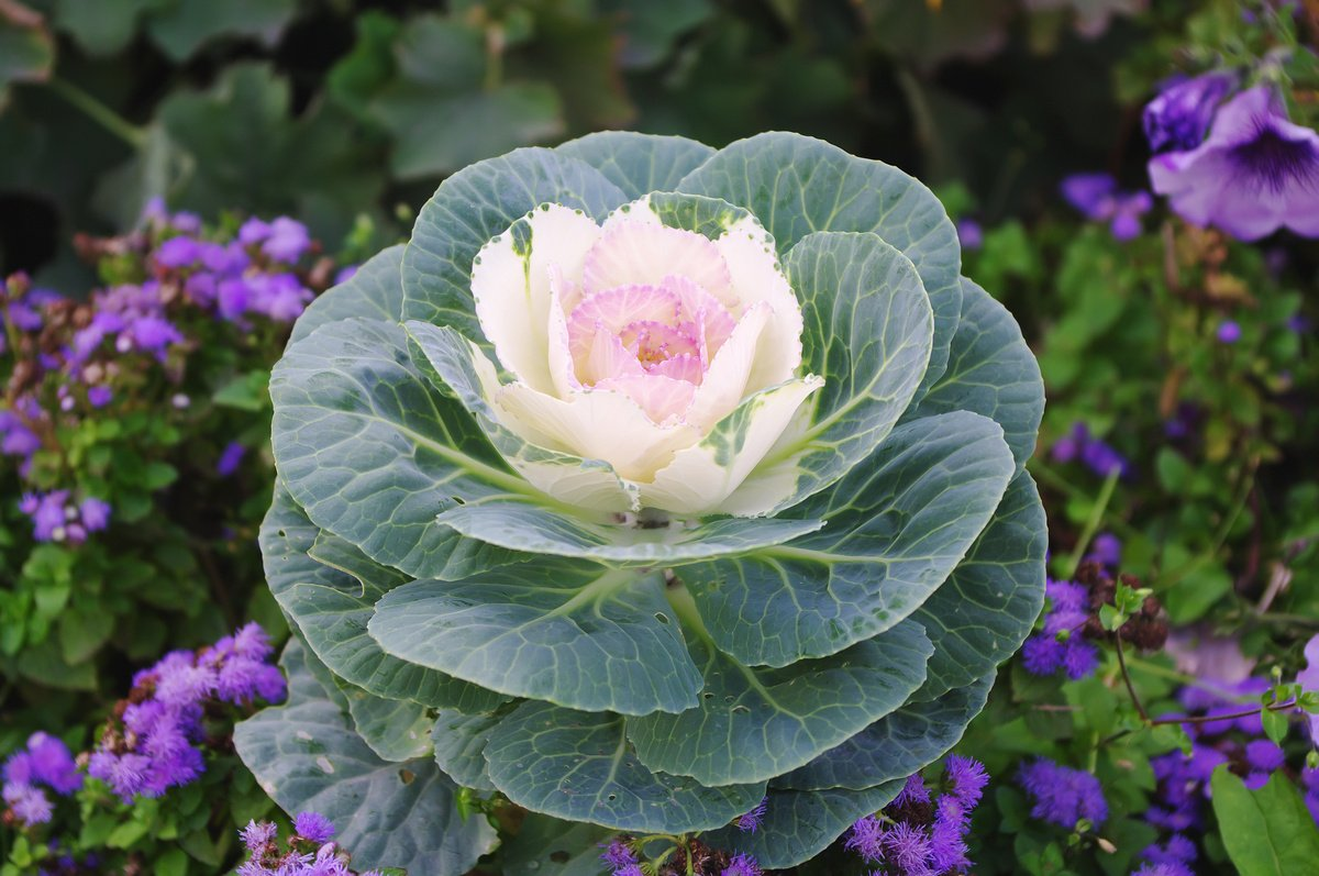 Декоративная капуста: цветок или овощ?