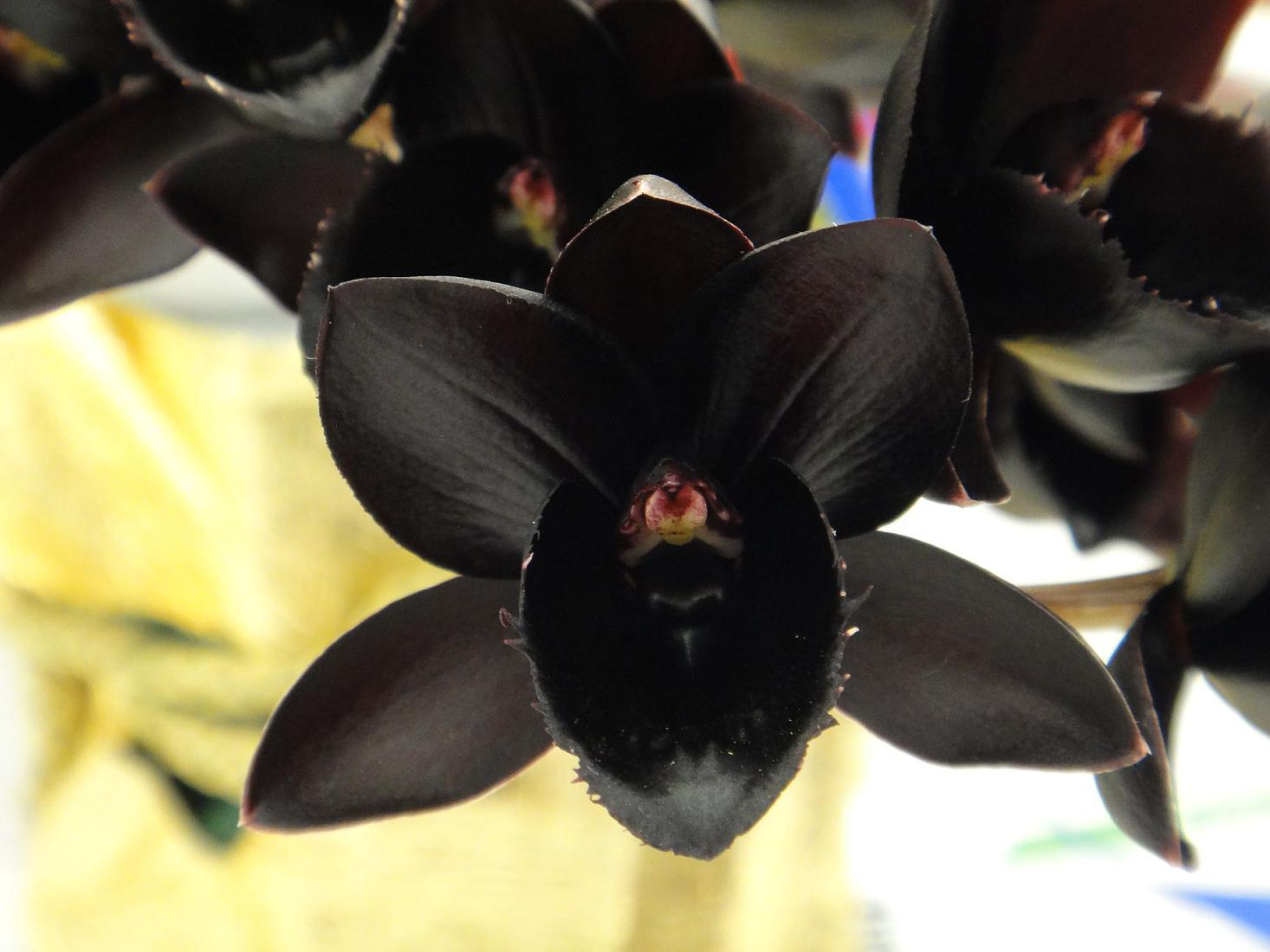 Фаленопсис — цветок черная орхидея, как он выглядит на фото