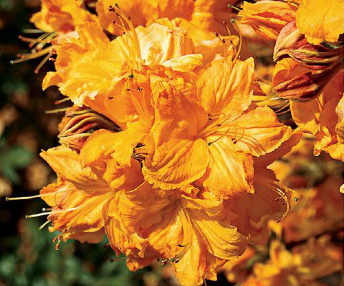 Комнатный цветок азалия: выращивание и уход в домашних условиях