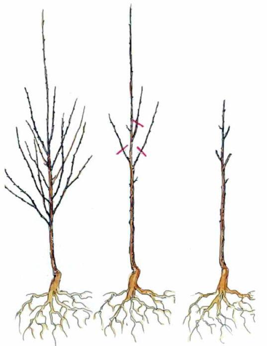 Схема обрезки молодой вишни