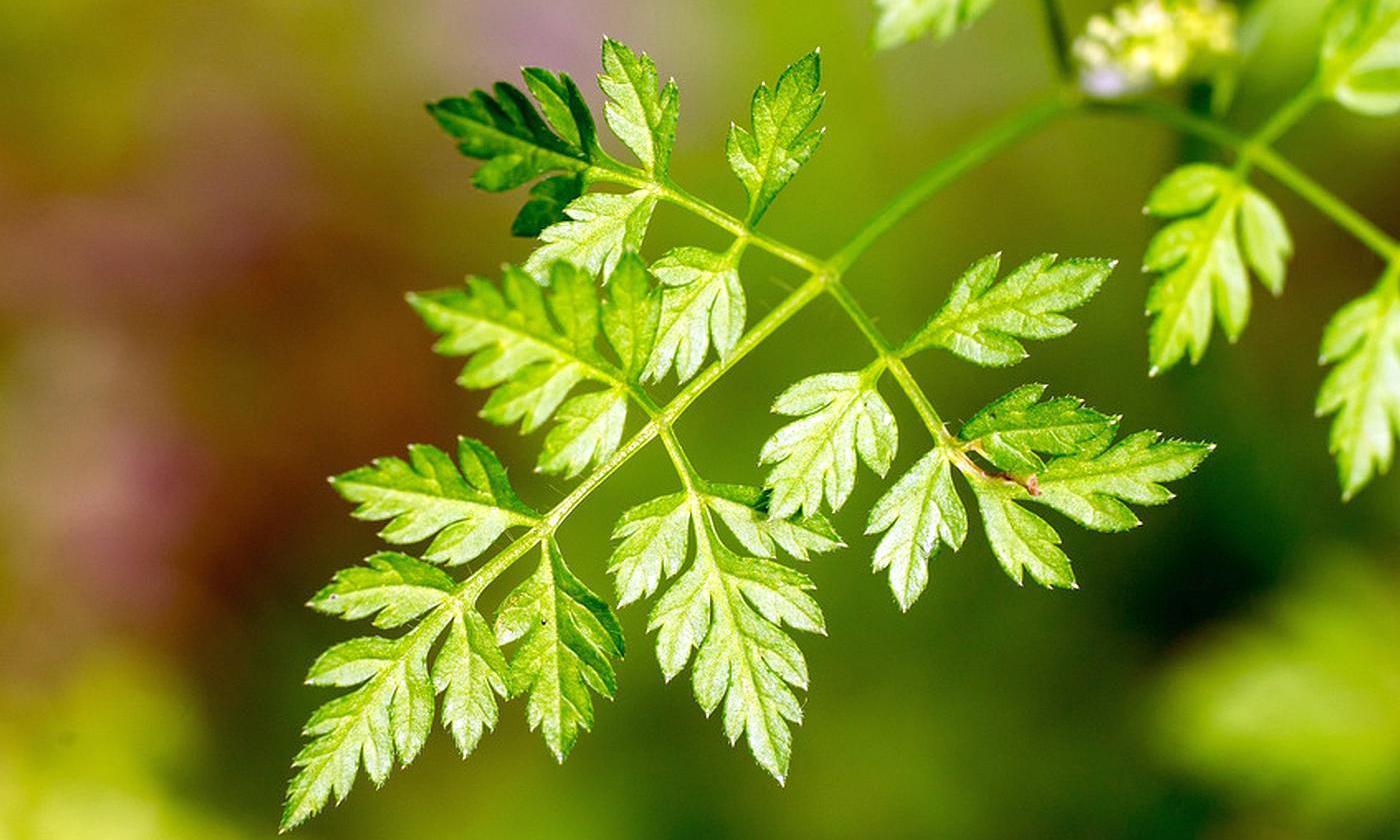 Что такое кервель: правила выращивания этого растения из семян