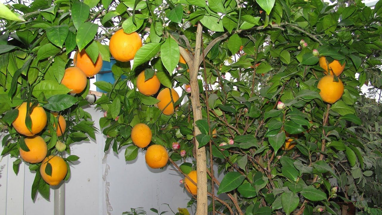 Выращиваем апельсины дома и в открытом грунте