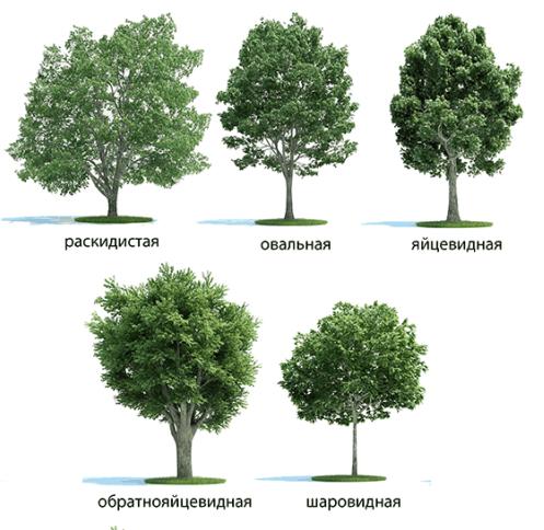 Формы крон дерева