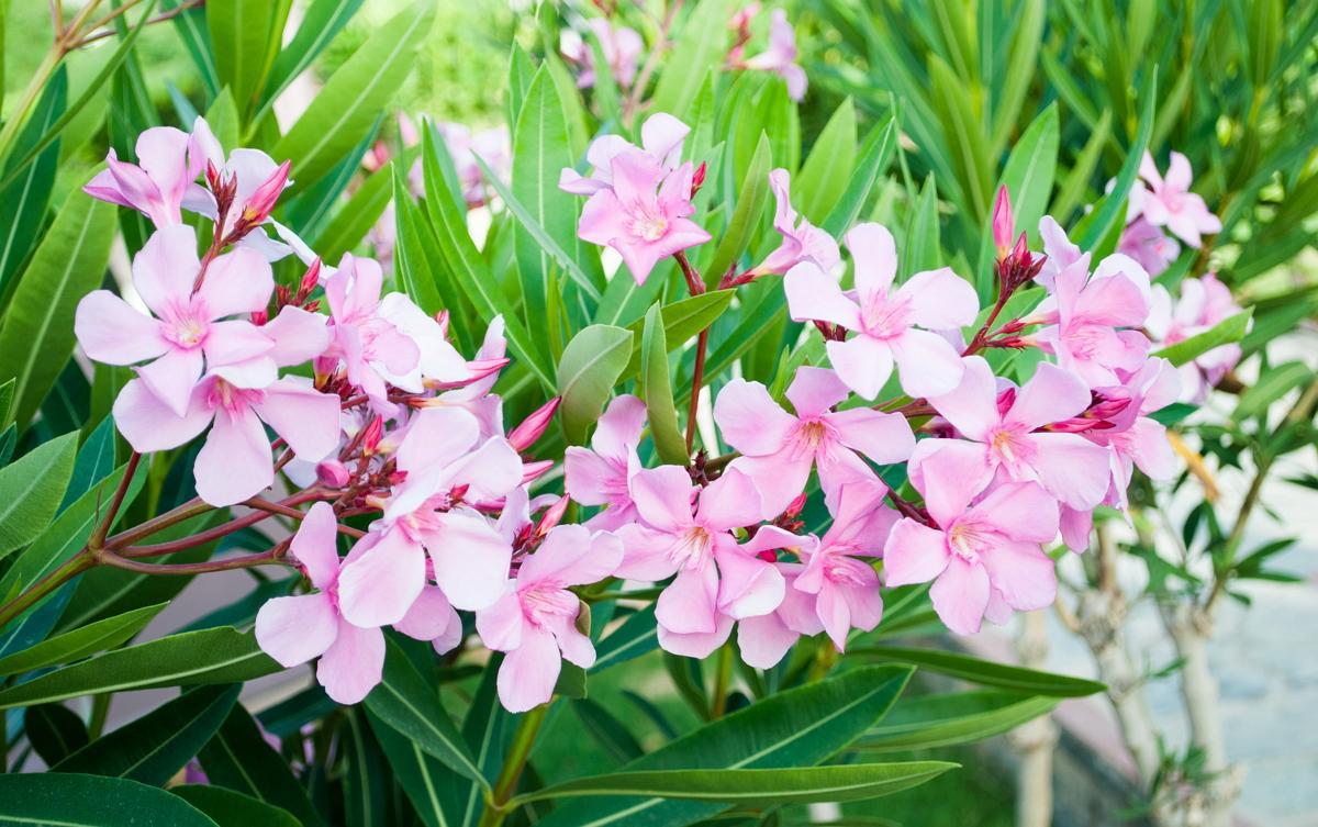 Цветок олеандр: выращивание и уход в домашних условиях, фото