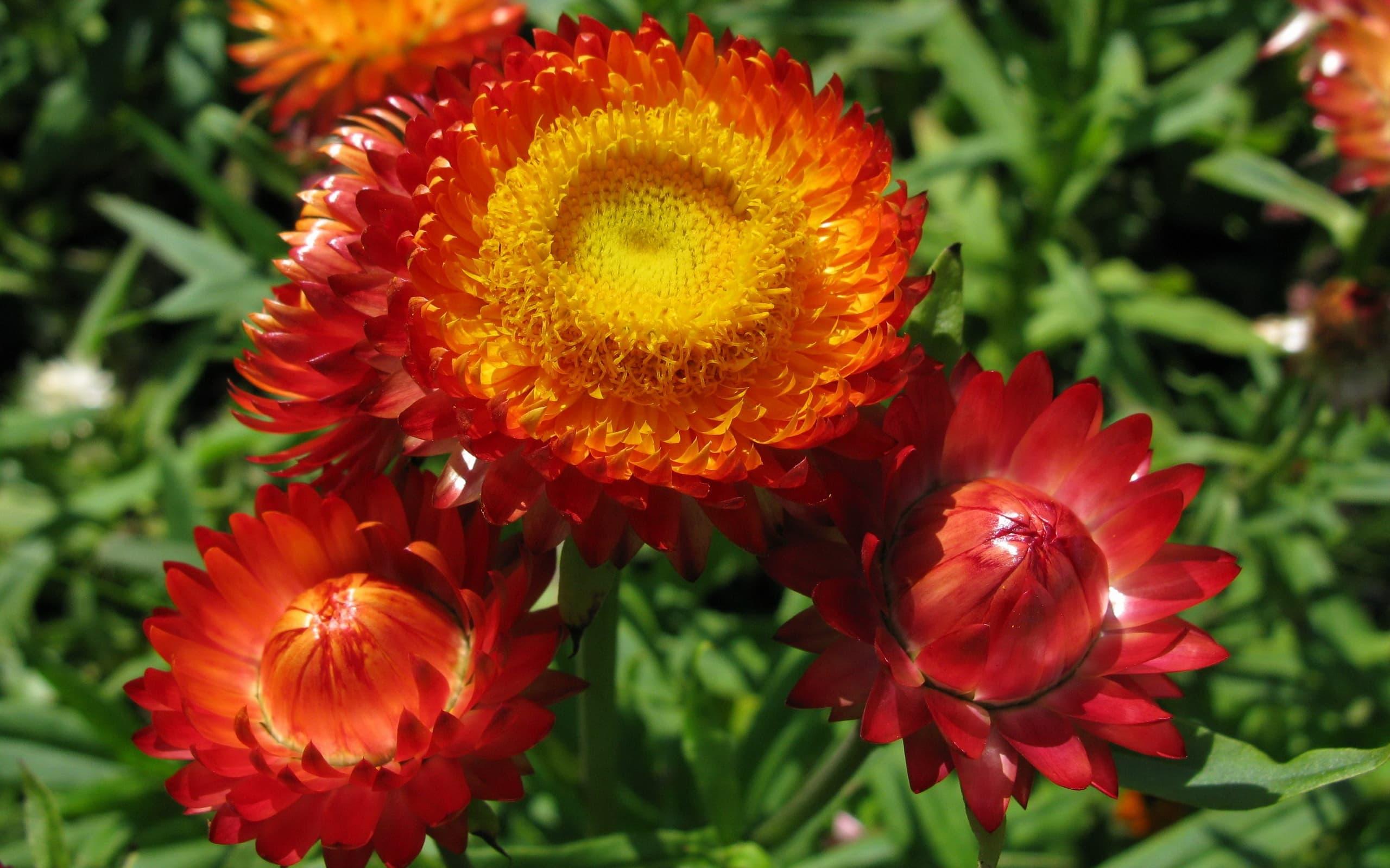Гелихризум: разновидности и выращивание из семян в домашних условиях