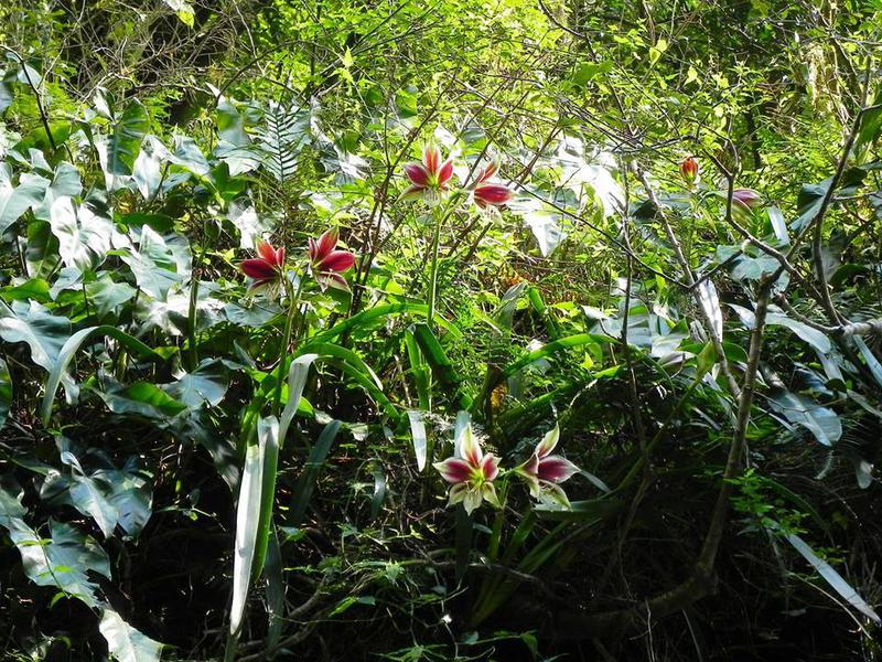 Гиппеаструм в природе