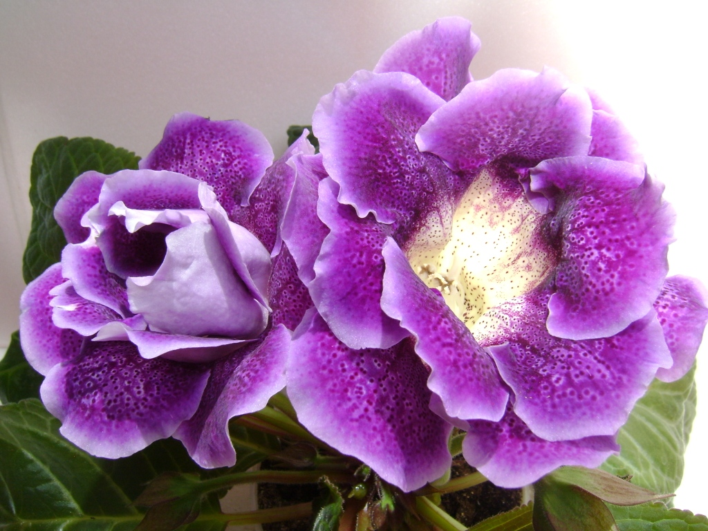 Глоксиния: уход и выращивание в домашних условиях, размножение