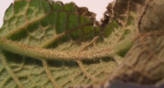Гниль корней, стеблей и черешков