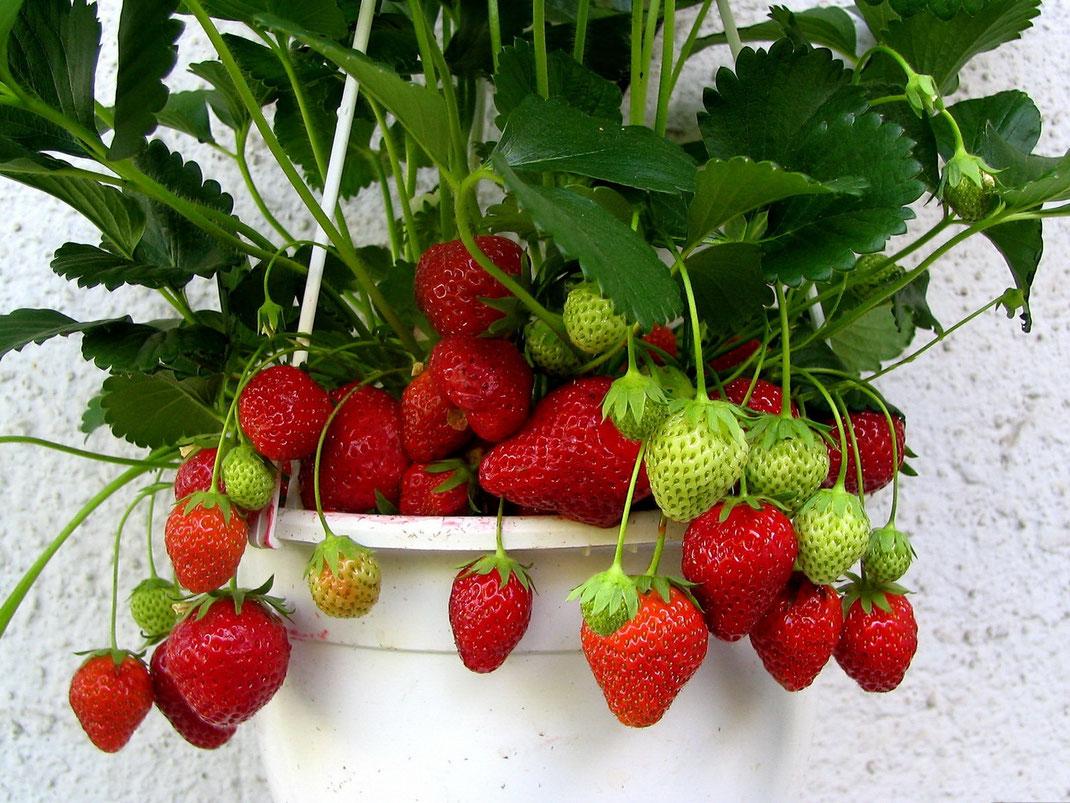 Как вырастить дома вкусную клубнику, сорта и советы