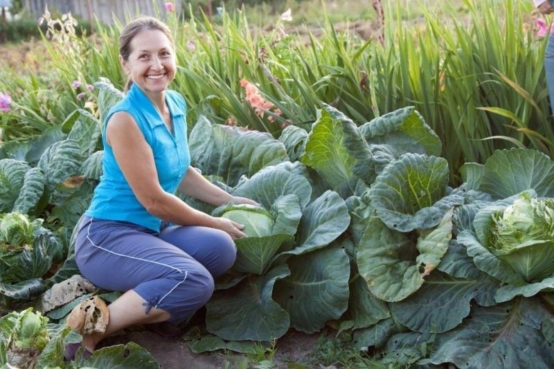 12 советов, как вырастить здоровую и крепкую рассаду капусты