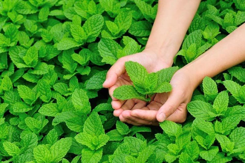 7 причин заняться выращиванием мяты