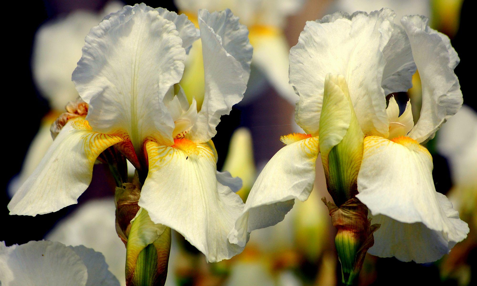 Цветок ирис: описание и виды, фото