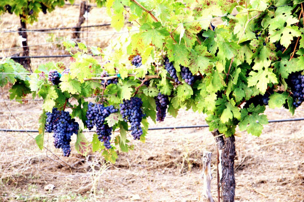 Чем обработать виноград от разных проблем: чёрная магия или искусство?