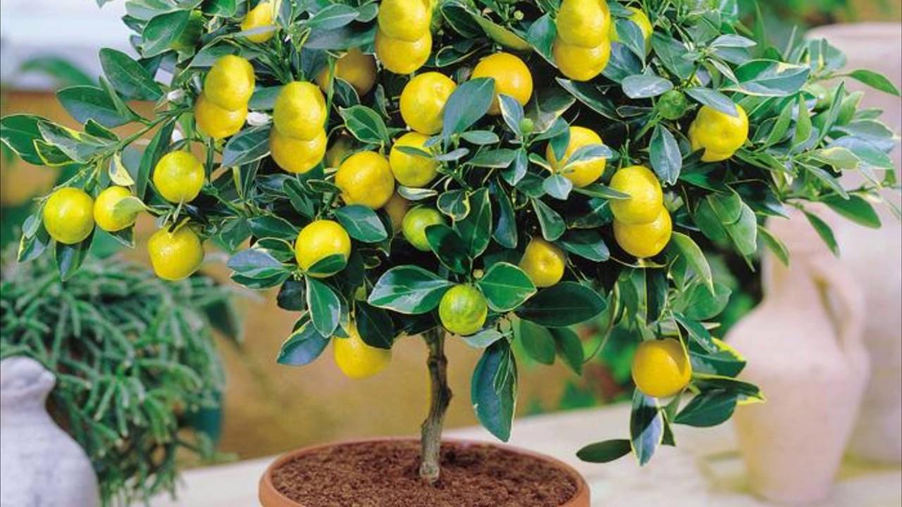 Уход и выращивание лимона в домашних условиях