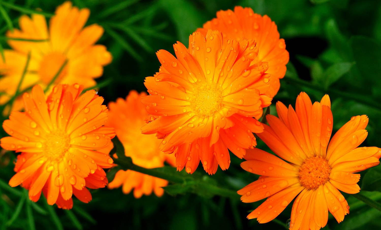 Дачные цветы, которые выращивали наши бабушки, а мы сейчас о них почему-то забыли