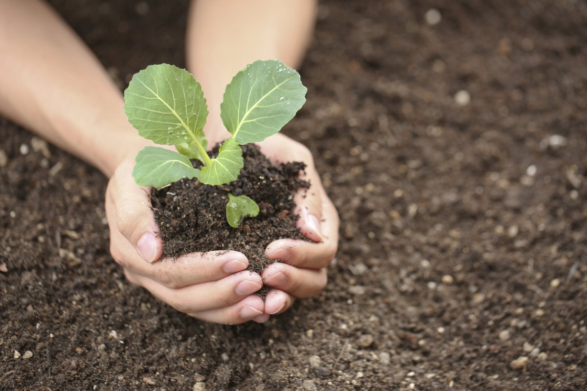 Выращивание рассады капусты в домашних условиях
