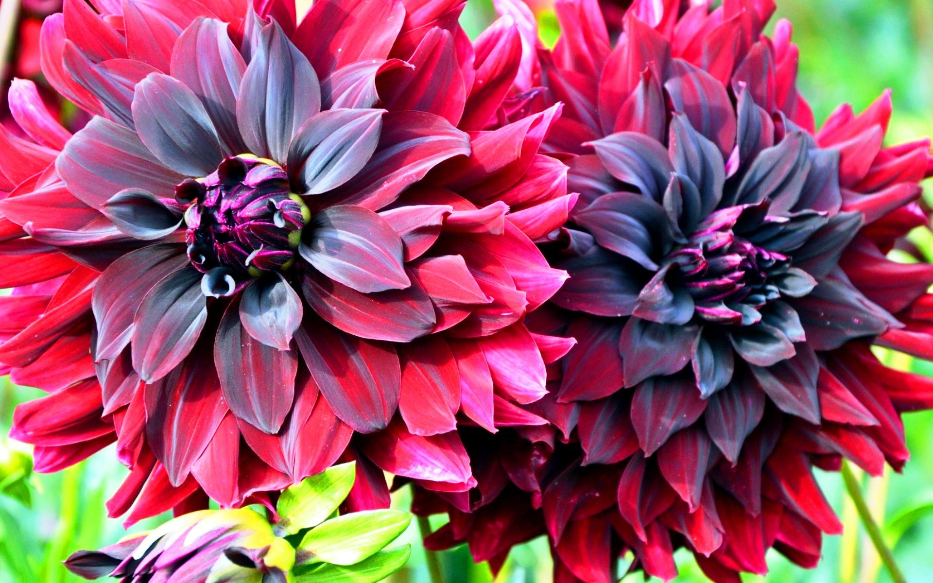 Как георгины меняют цвет