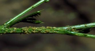 Кипарисовая тля