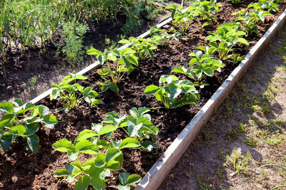 Почва для земляники и клубники: как сделать правильную подготовку