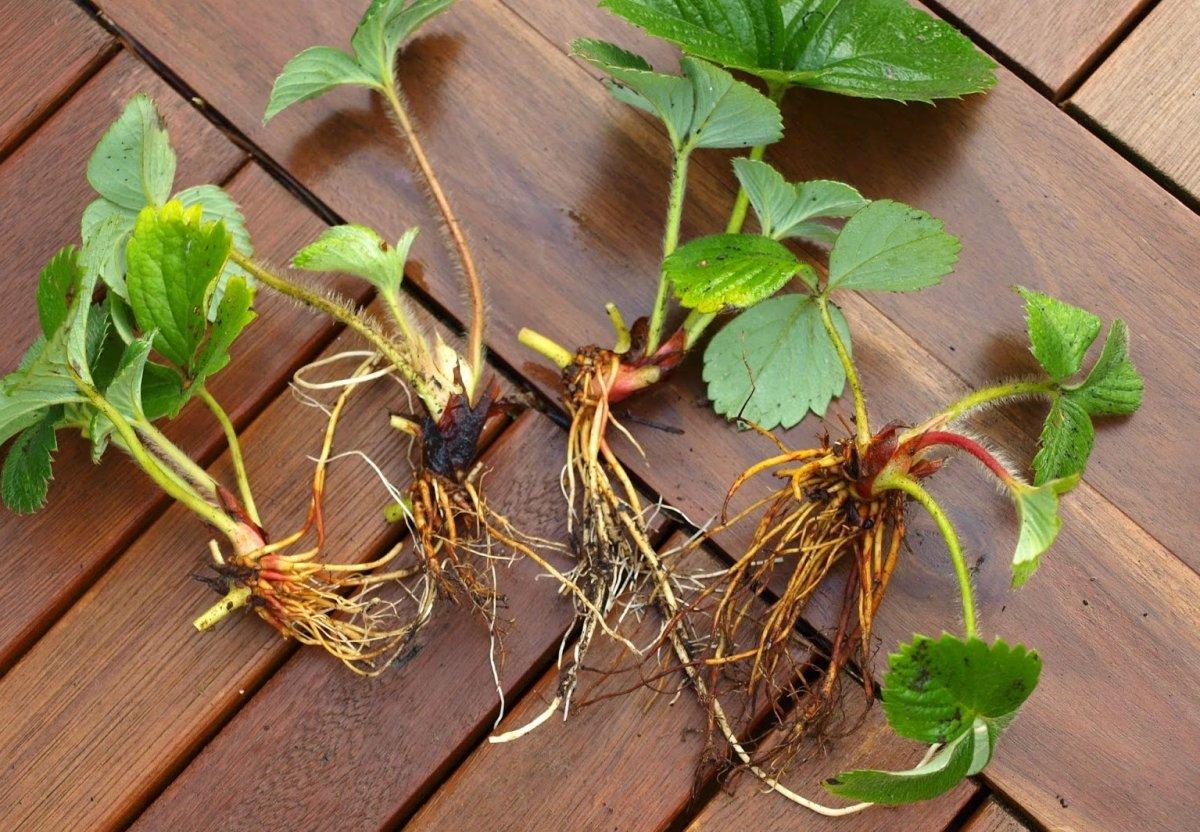 Как правильно рассадить клубнику: когда рассаживать, подготовка места и схема рассадки
