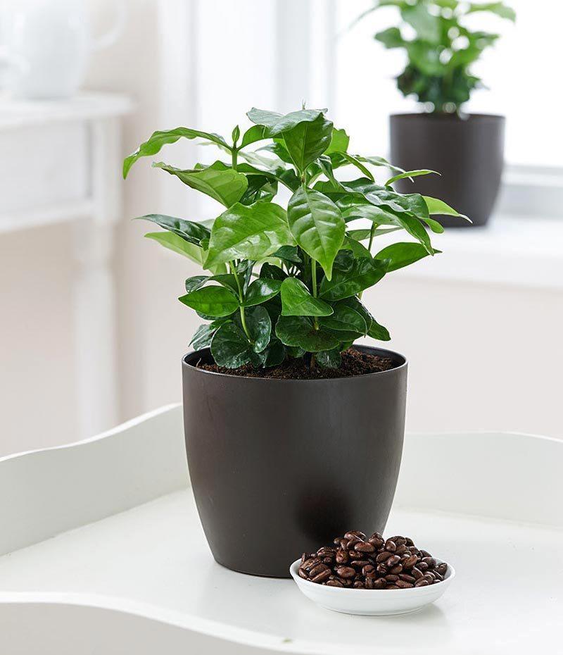 Уход за растением кофе арабика в комнатных условиях