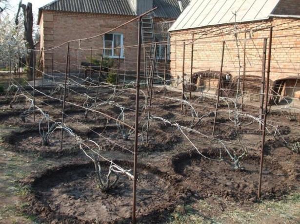 Углубления вокруг кустов винограда