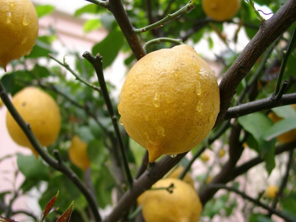 Можно ли в домашних условиях вырастить лимон из косточки