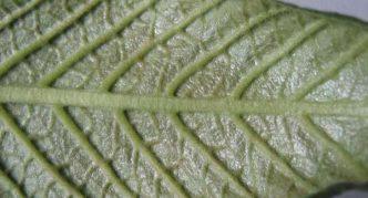 Лист стрептокарпуса, поражённый клещом