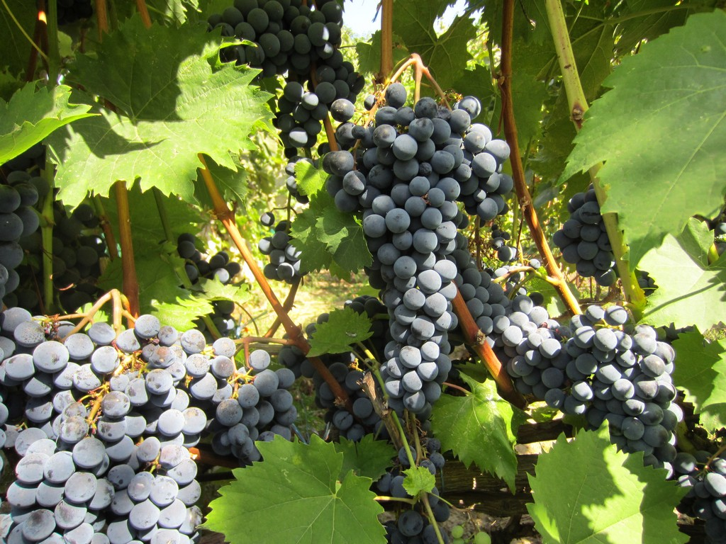 Сорт винограда ливадийский черный