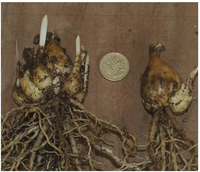 луковица амариллиса с детками