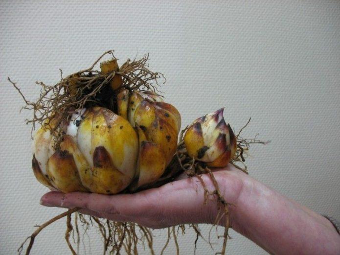 Луковица лилии с корнями и маленькой луковкой
