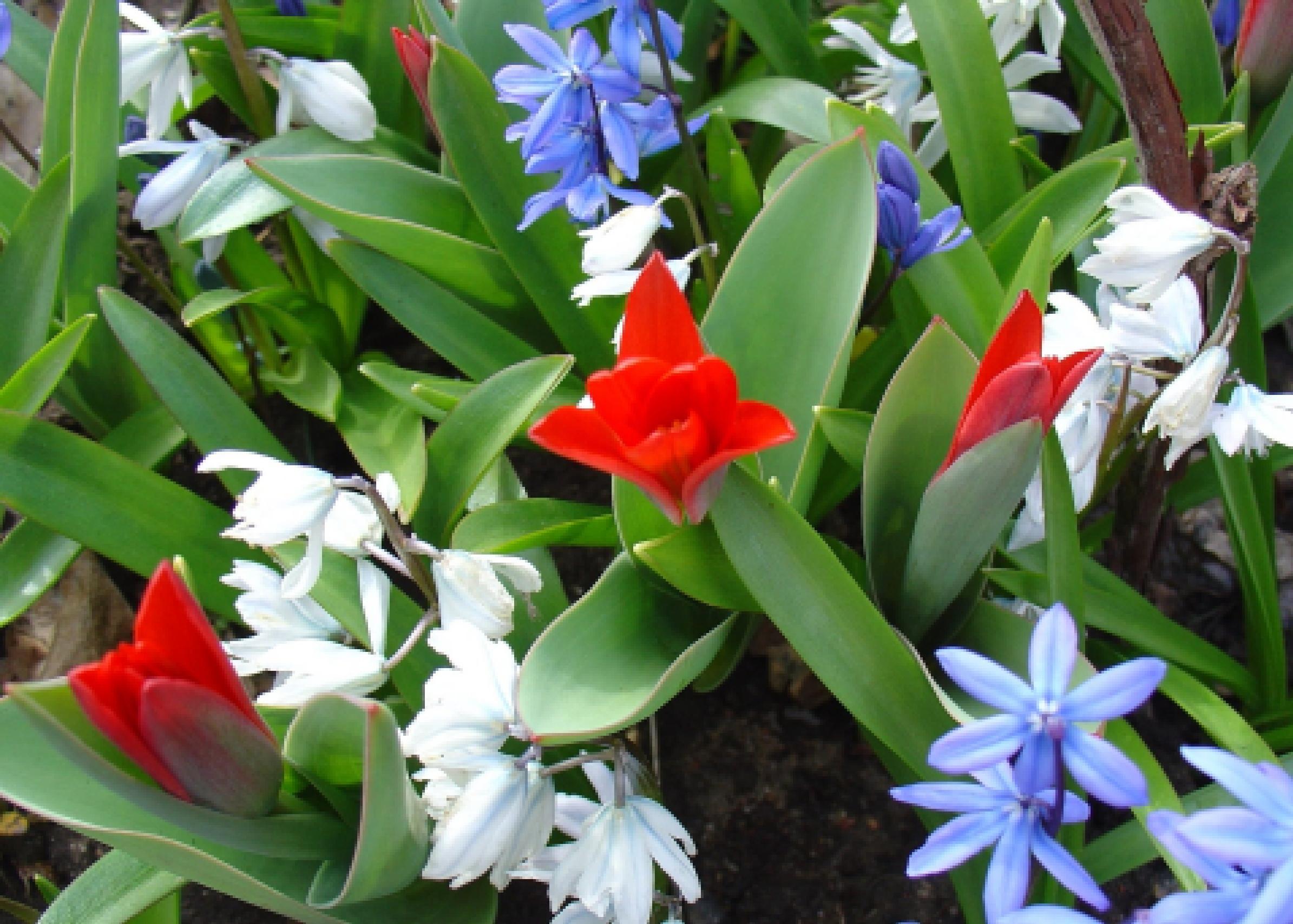 Садовые луковичные цветы: фото, названия и вредители
