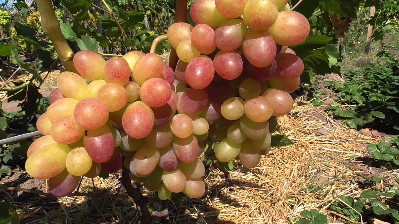 Виноград тасон описание сорта фото отзывы видео