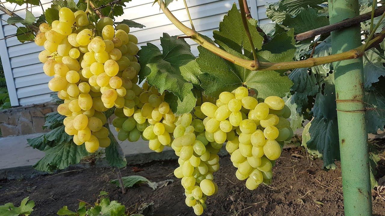 Лора или Флора: популярный сорт столового винограда, нюансы ухода за культурой
