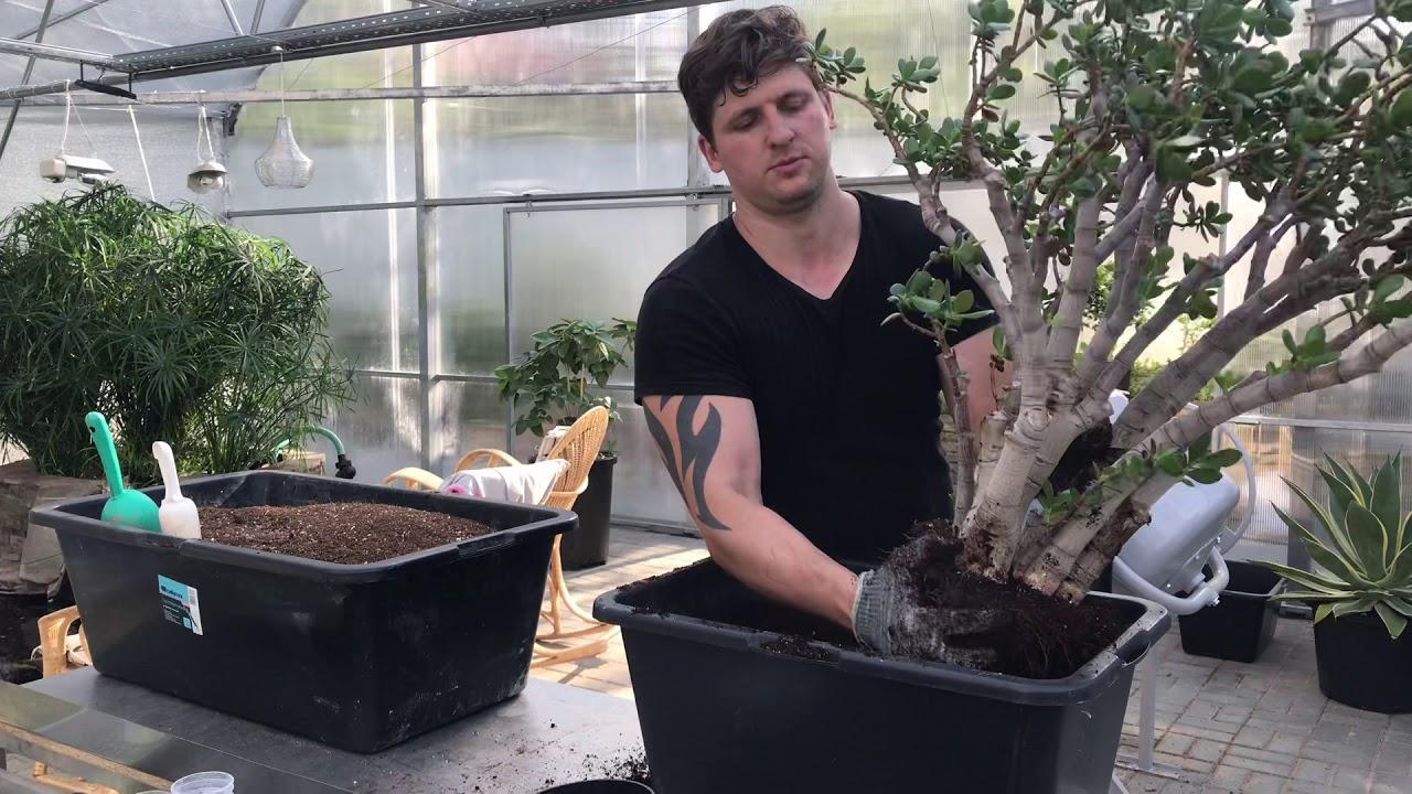 Как и когда пересаживать денежное дерево в домашних условиях