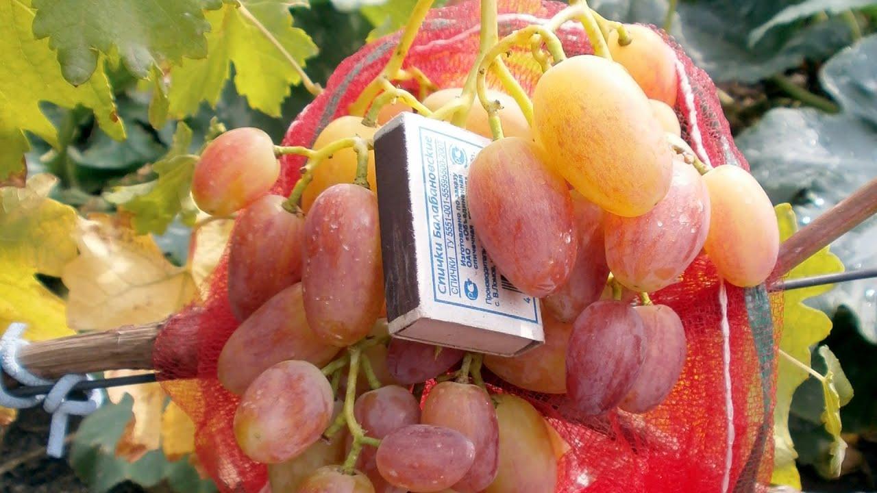 Виноград Юлиан: описание и характеристики сорта, посадка и уход с фото
