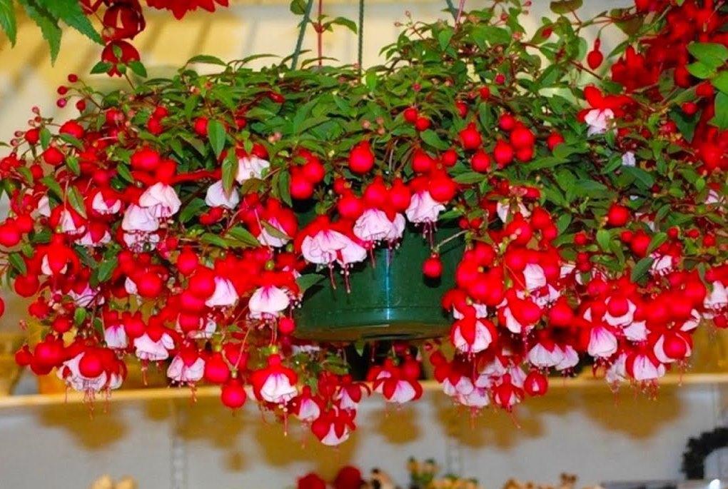Названия, виды и фото комнатных ампельных растений