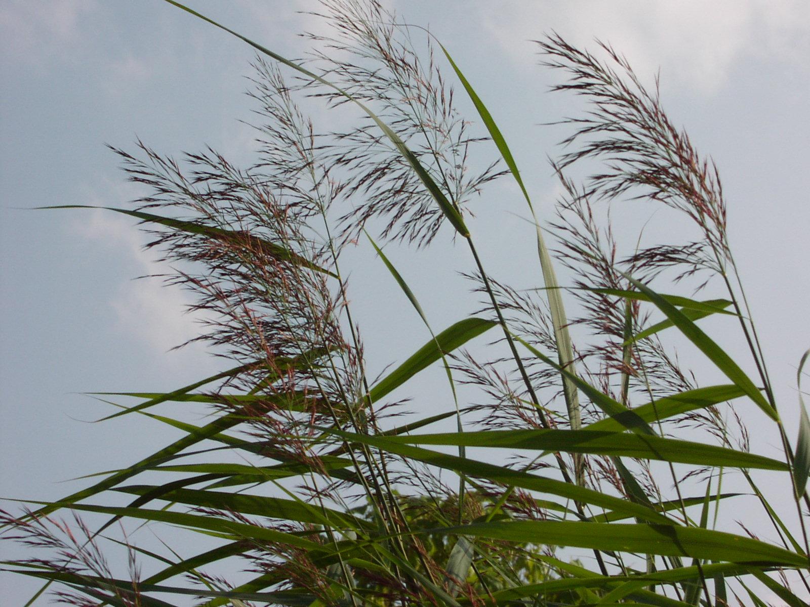 Тростник обыкновенный, фото и описание растения