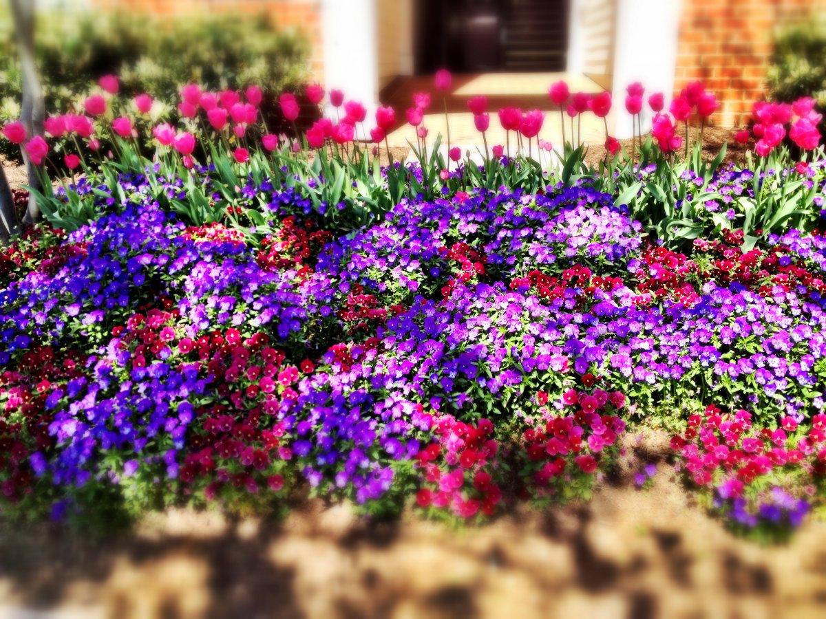 Цветы на клумбу которые долго цветут