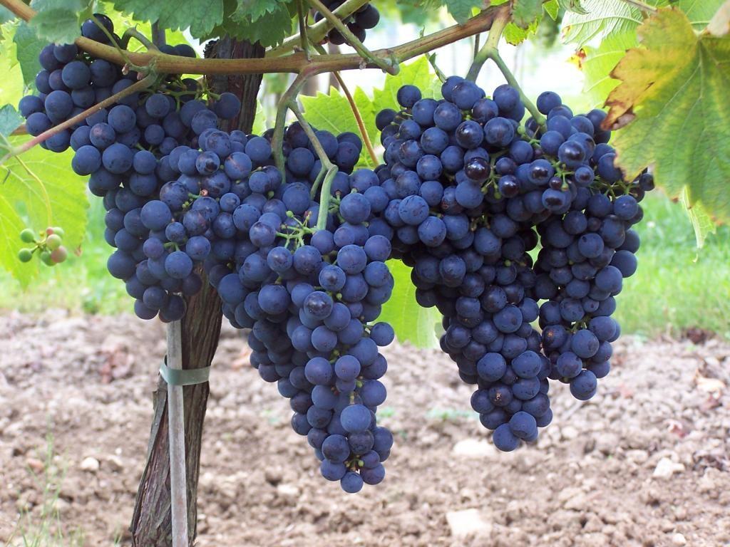 Столовый виноград Монарх — достойный результат российской селекции