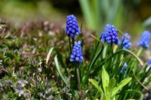Как посадить мускари в открытом грунте сорта цветка, особенности посадки и ухода, фото и полезные